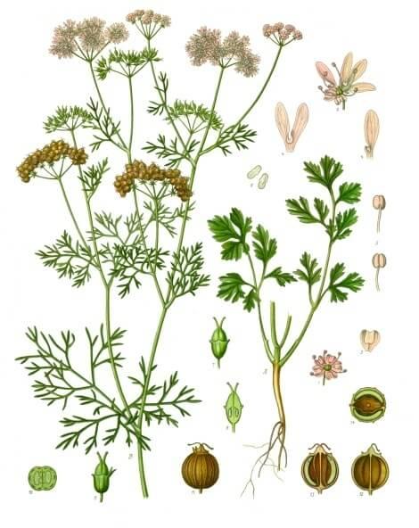 Coriandrum_sativum_ cilantro semillas