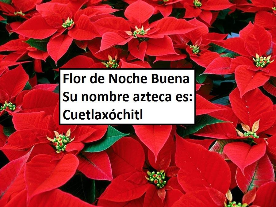 Nada de Poinsettias su nombre es Cuetlaxochitl – El Símbolo Azteca de la Nueva Vida.