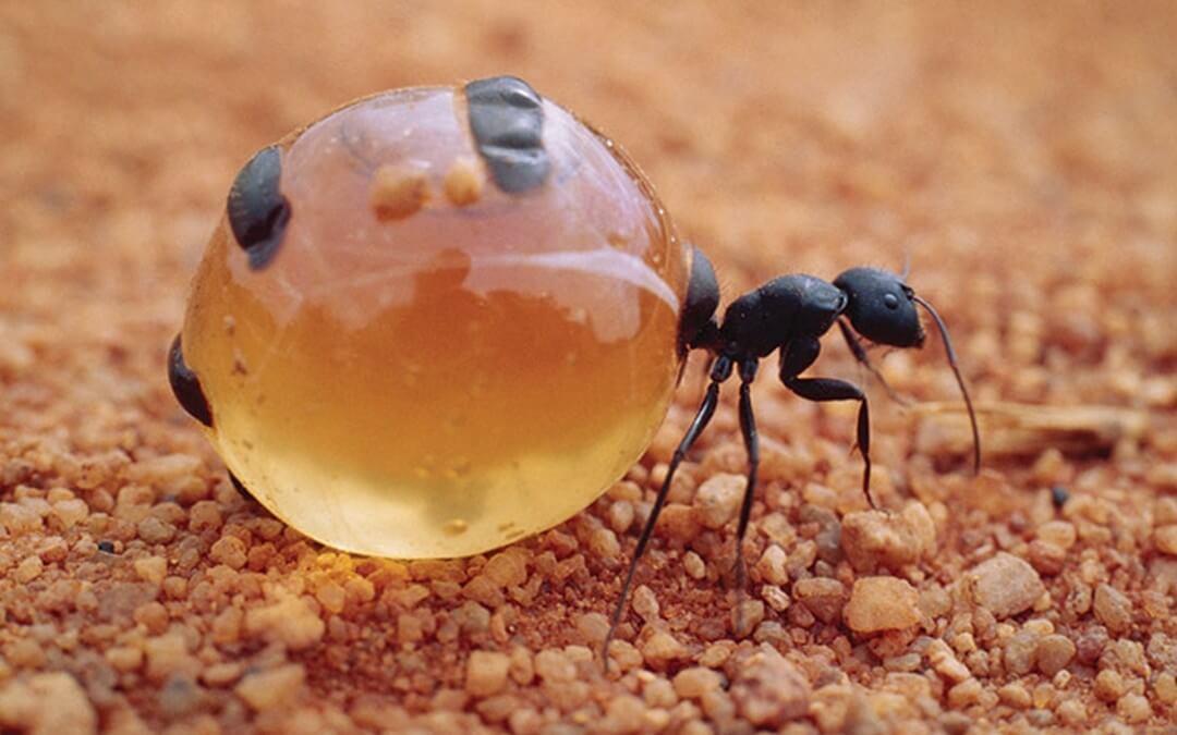 Conociendo a las deliciosas hormigas mieleras.