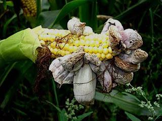 Las impresionantes propiedades curativas y nutritivas del Huitlacoche