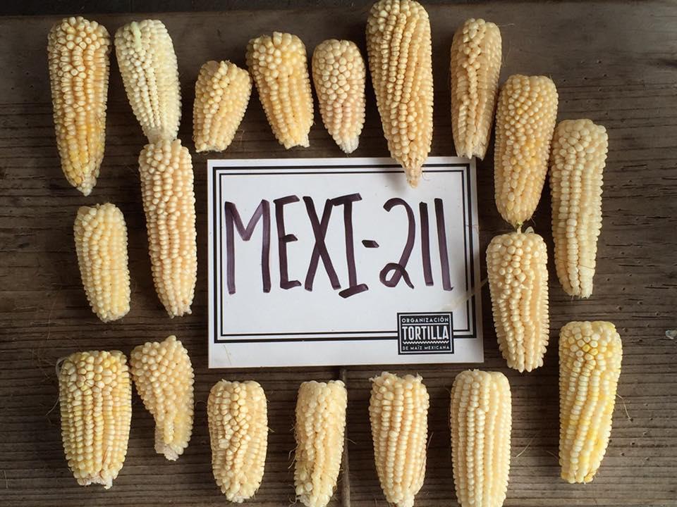 Confirman primera cosecha de Maíz Palomero 100% mexicano.