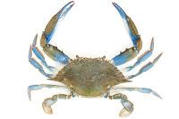 jaiba o blue crab