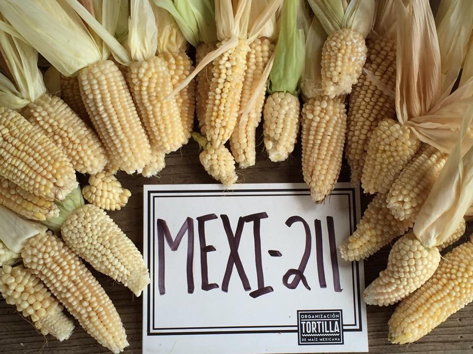 primera cosecha de maiz palomero 2