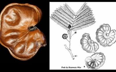 Parota, pich o GUANACASTE Frito /  El árbol de las orejas.