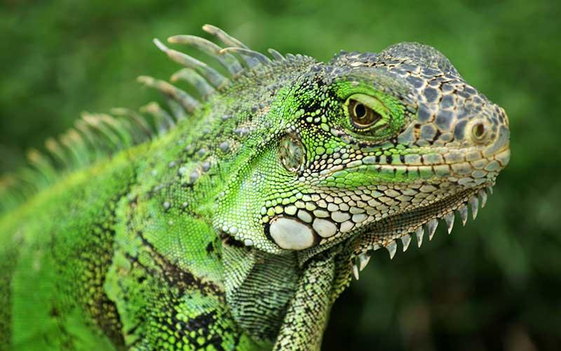 Iguana caracteristicas
