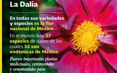 """DALIA: los aztecas la llamaban """"acocoxóchitl"""". ¿Sabías que es la flor nacional de México?"""
