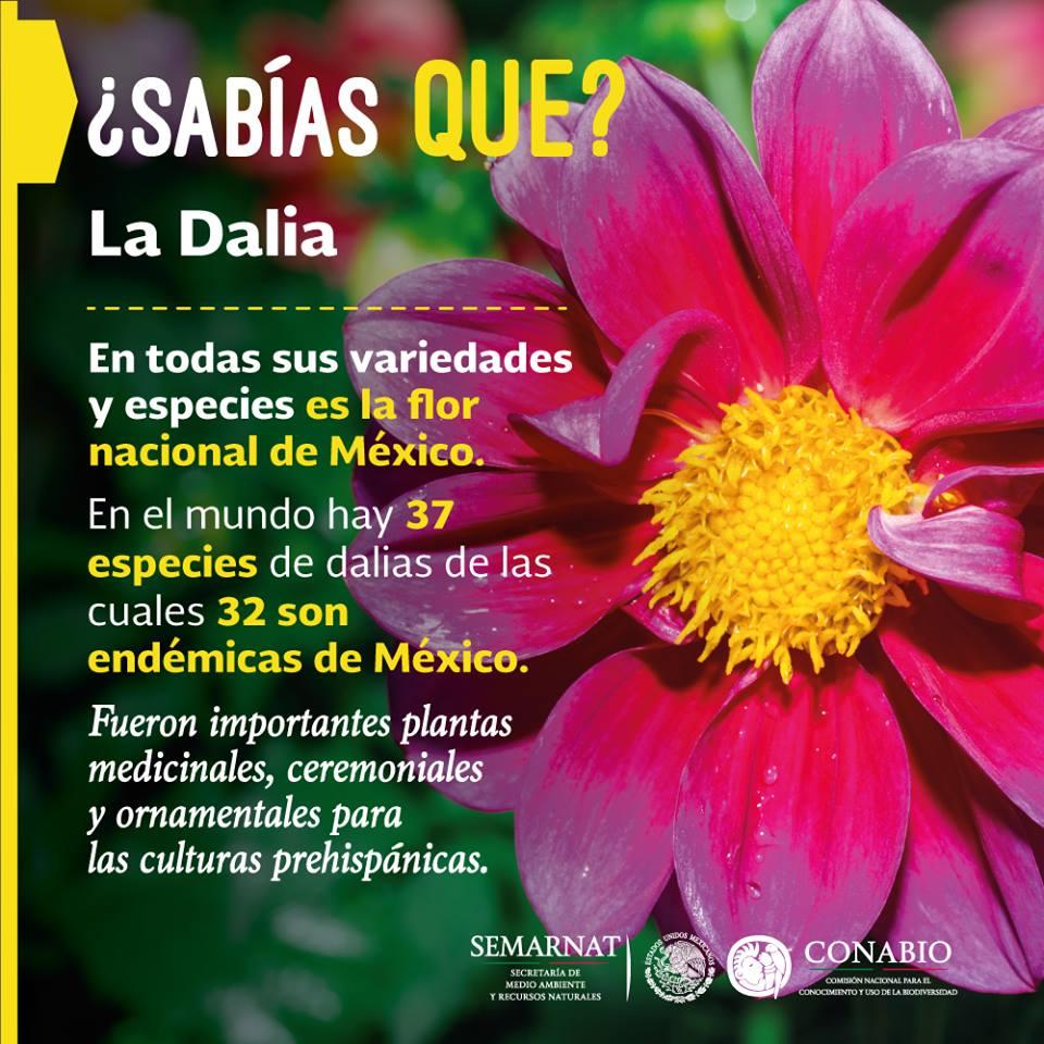 DALIA: los aztecas la llamaban «acocoxóchitl». ¿Sabías que es la flor nacional de México?