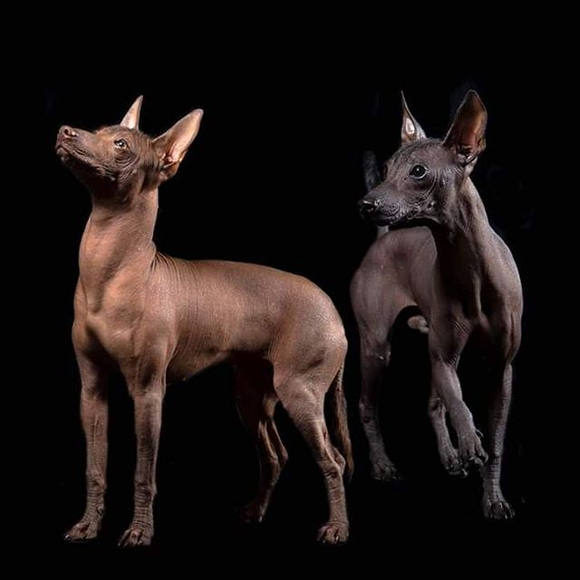 Este es el hermoso Xoloitzcuintli, el perrito que se lleva a los muertos al Mictlan.