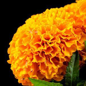 Las 7 variedades de Cempasuchil: historia, leyenda, aromas, propiedades y usos medicinales