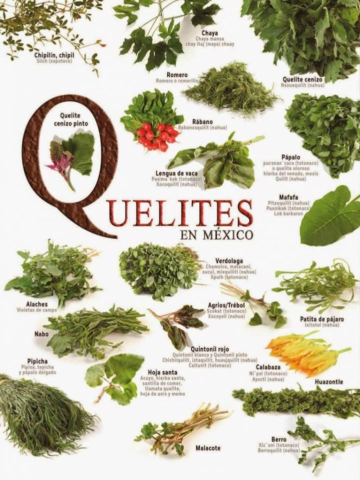 Conoce los QUELITES más comunes en México y sus nombres científicos.