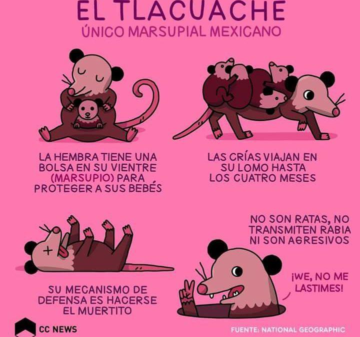 EL TLACUACHE, único marsupial mexicano
