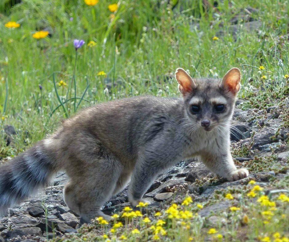Conoce el hermoso CACOMIXTLE el «medio-felino» mexicano.