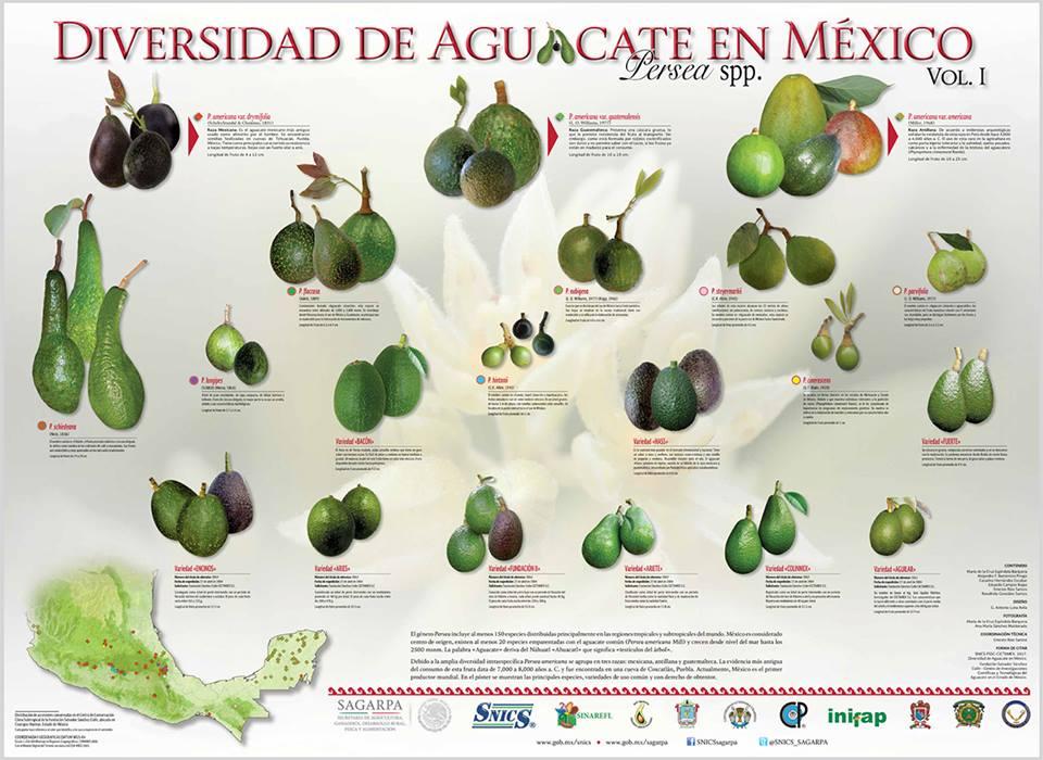Conoce la diversidad del AGUACATE Mexicano en este cartel temático.