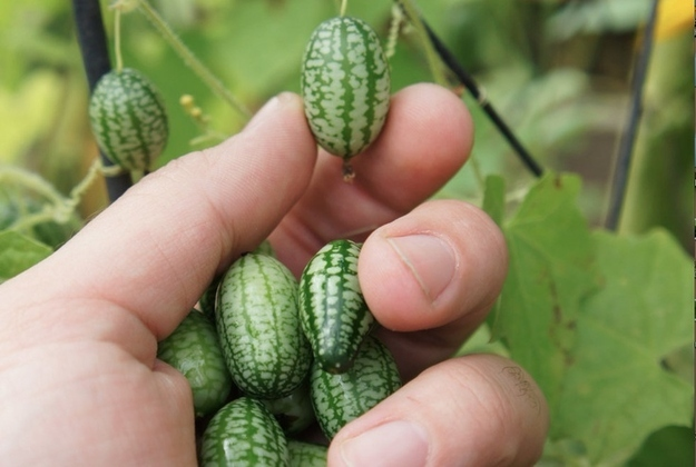 Este fruto parece sandía, es pequeña como uva pero sabe a pepino.