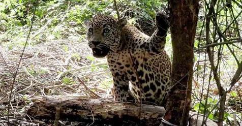 Detectan ocho Jaguares en la Sierra de Tamaulipas.