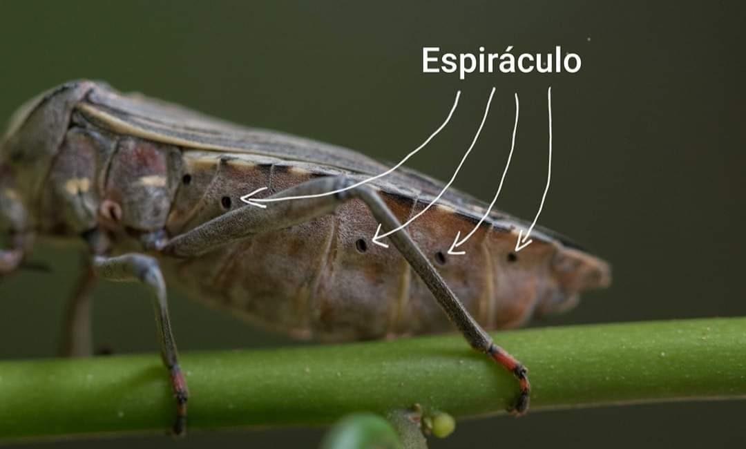 Te has preguntado ¿como respiran los insectos?
