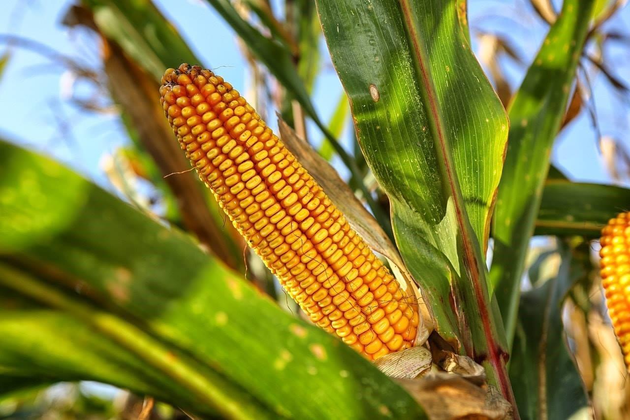 Los usos del maíz; Tonacáyotl, nuestro sustento.
