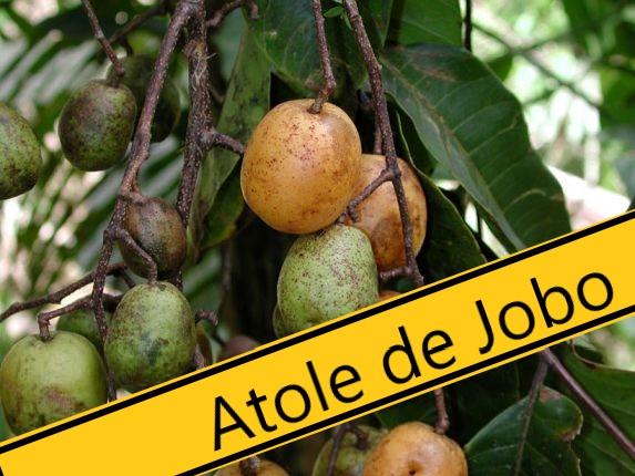 El JOBO en la medicina tradicional y su Atole.