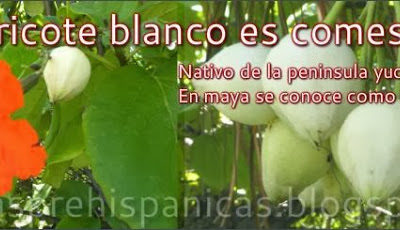 El Siricote y la Anacahuita «el olivo mexicano»