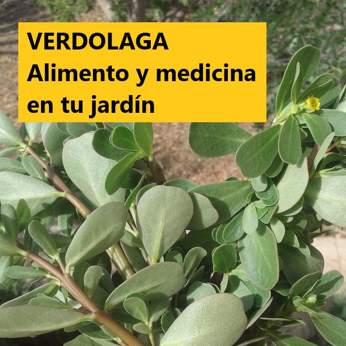 Conoce las propiedades farmacológicas de las VERDOLAGAS y mejora tu sistema inmune.